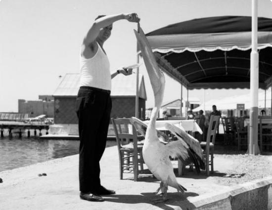 «Κόκος» – Η ιστορία του Παφίτη πελεκάνου με τη διεθνή φήμη